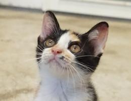 三八痣小貓