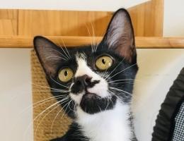 可愛黑鼻貓