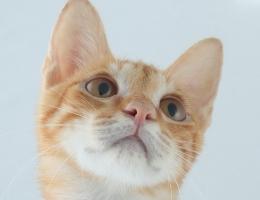 渦文橘子貓
